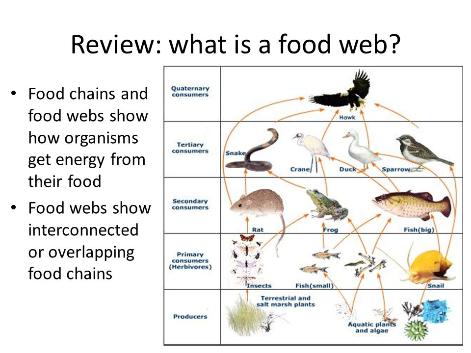 food chains and webs Science living things exercise - food chains activity help deadly 60's steve find the food chain's deadliest predator looking for the old interdependence activity.