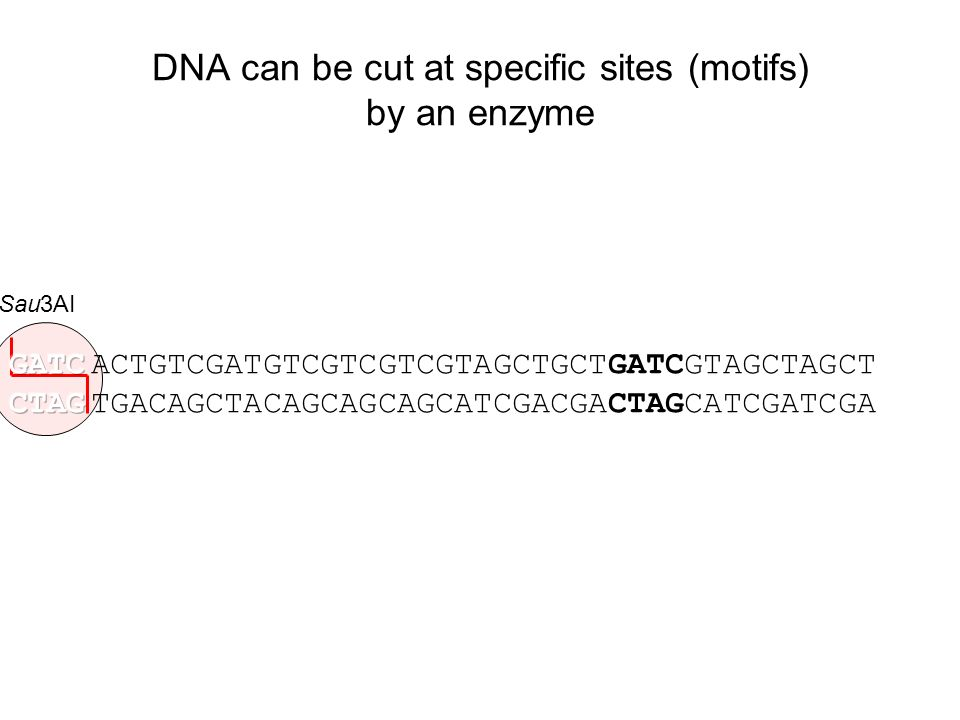 DNA can be cut at specific sites (motifs) by an enzyme