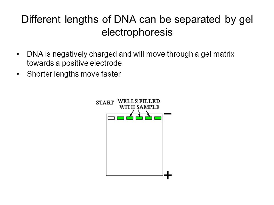 Different lengths of DNA can be separated by gel electrophoresis