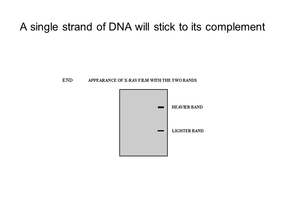 A single strand of DNA will stick to its complement