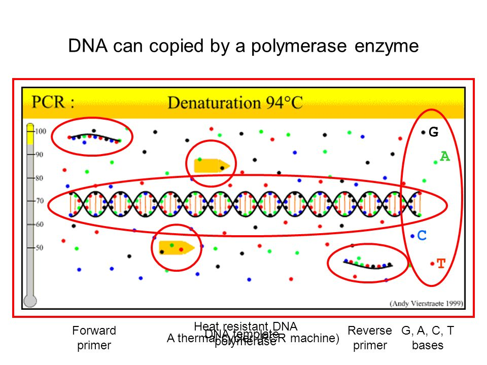 DNA can copied by a polymerase enzyme
