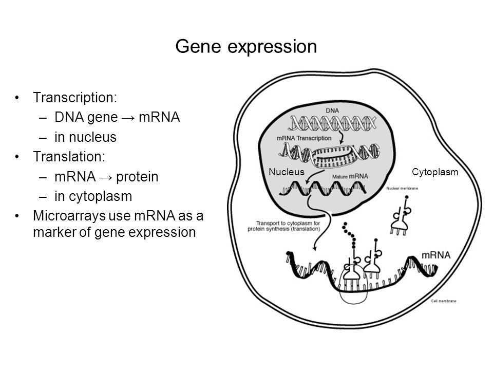 Gene expression Transcription: DNA gene → mRNA in nucleus Translation: