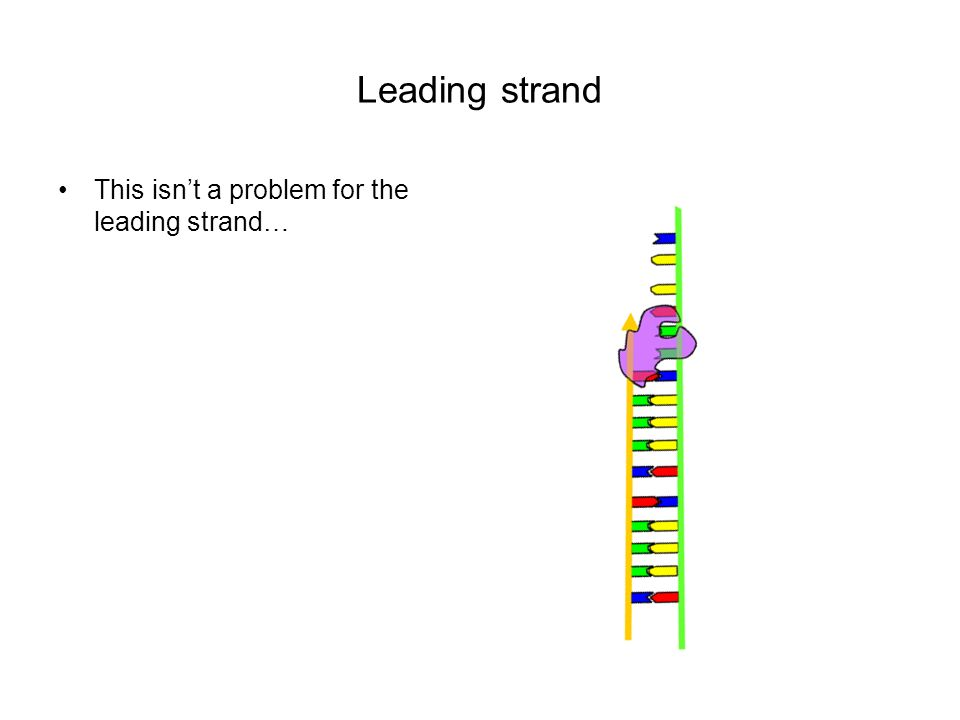 Leading strand This isn't a problem for the leading strand…
