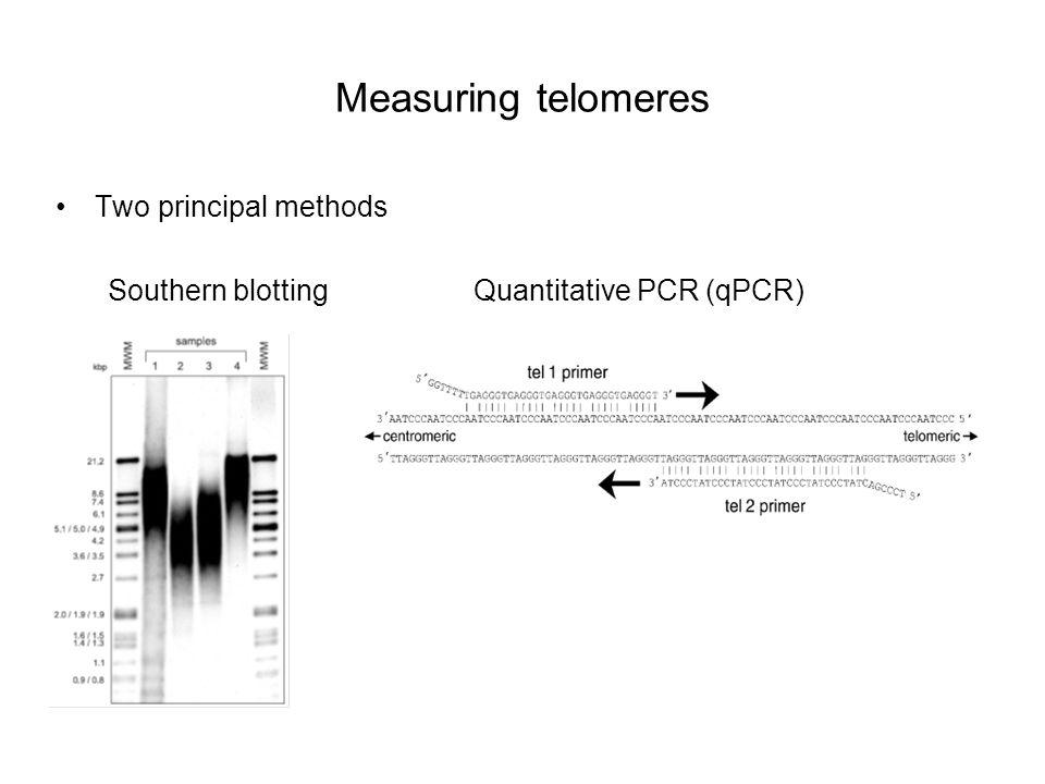 Measuring telomeres Two principal methods