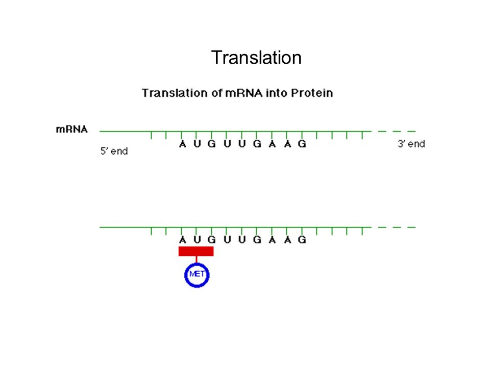 Translation Happens at ribosome