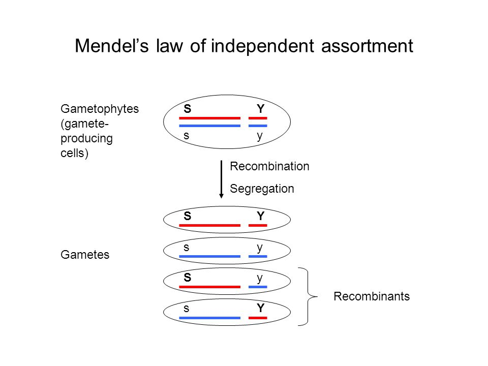Mendel's law of independent assortment