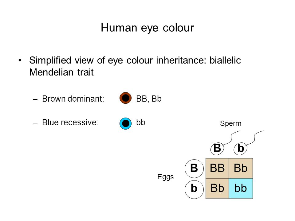 Human eye colour B b BB Bb bb