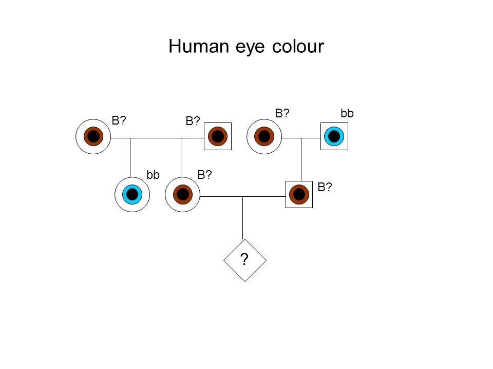 Human eye colour B bb B B bb B B