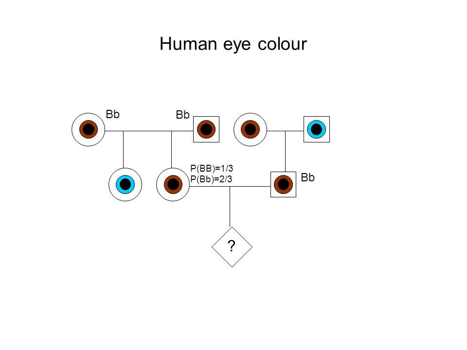 Human eye colour Bb Bb P(BB)=1/3 Bb P(Bb)=2/3
