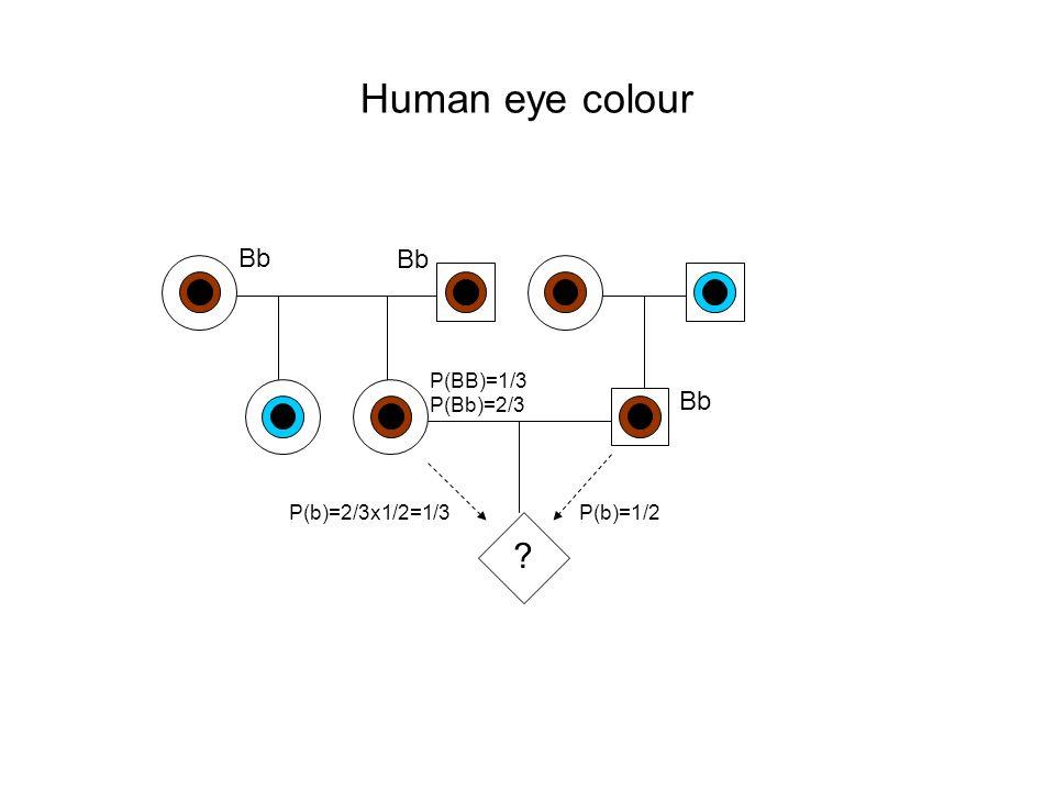Human eye colour Bb Bb Bb P(BB)=1/3 P(Bb)=2/3 P(b)=2/3x1/2=1/3