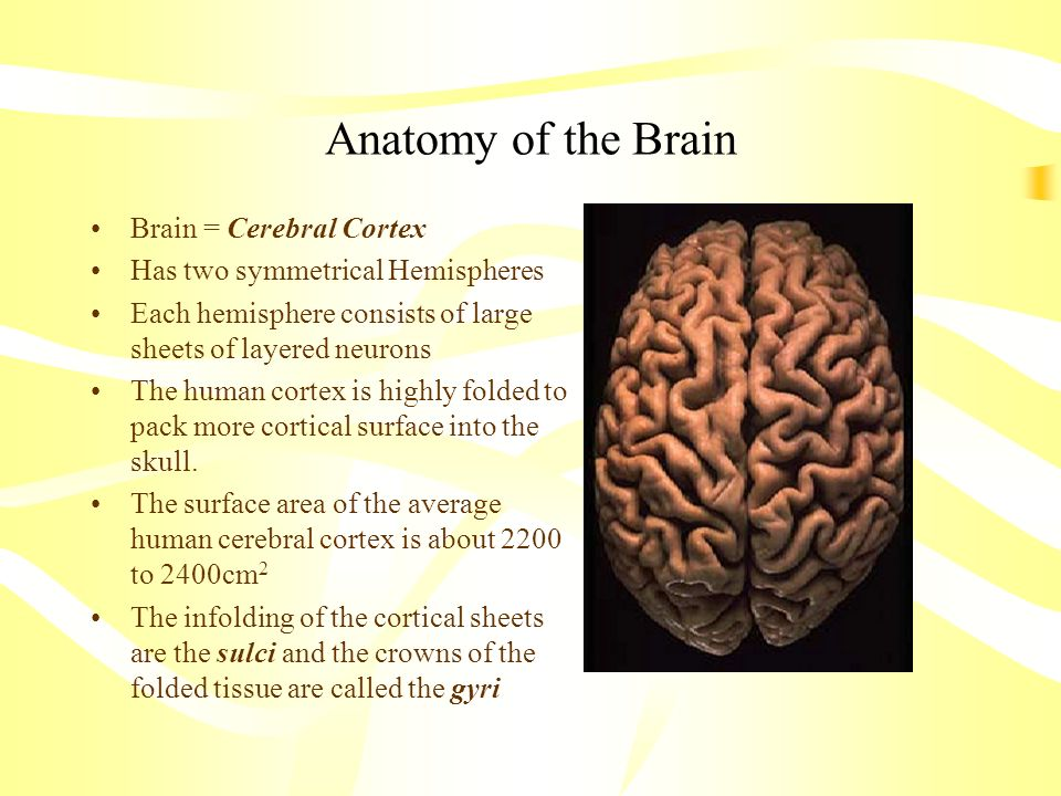 Anatomy of the Brain Brain = Cerebral Cortex
