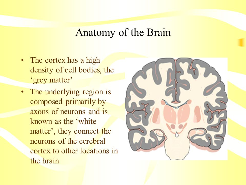 Anatomy of the Brain The cortex has a high density of cell bodies, the 'grey matter'