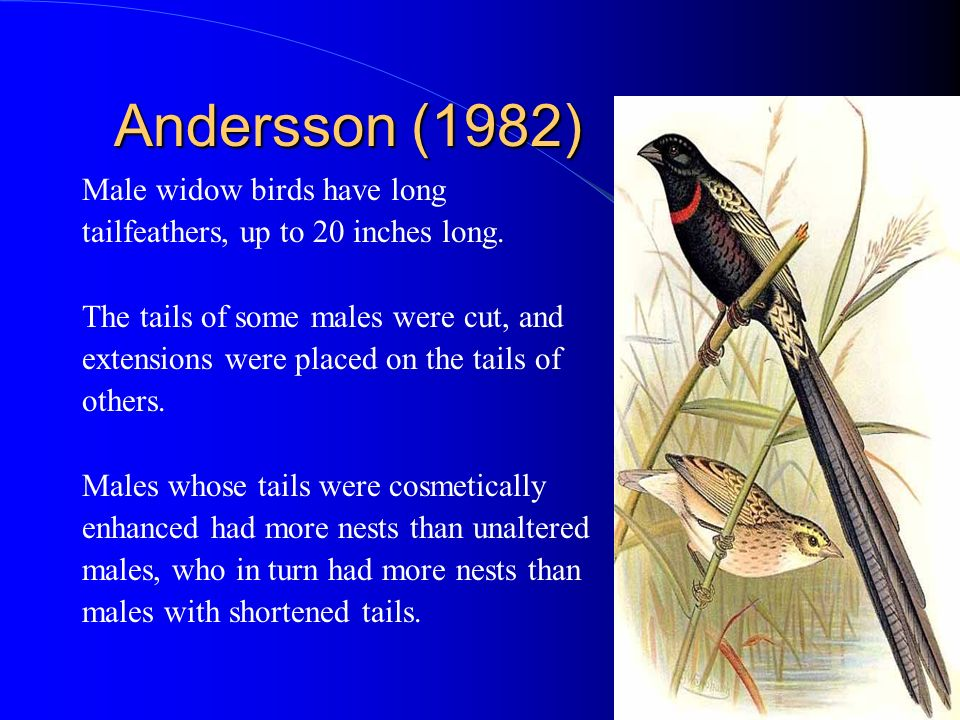 Andersson (1982) Male widow birds have long