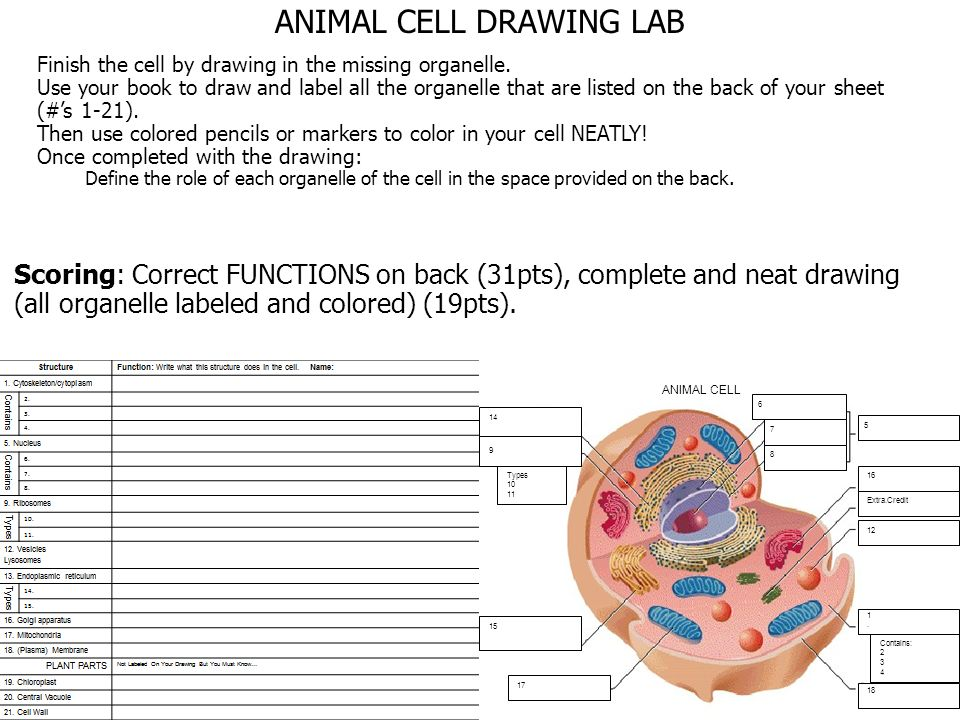 Cell Drawing Complete the structure & function table then label ...