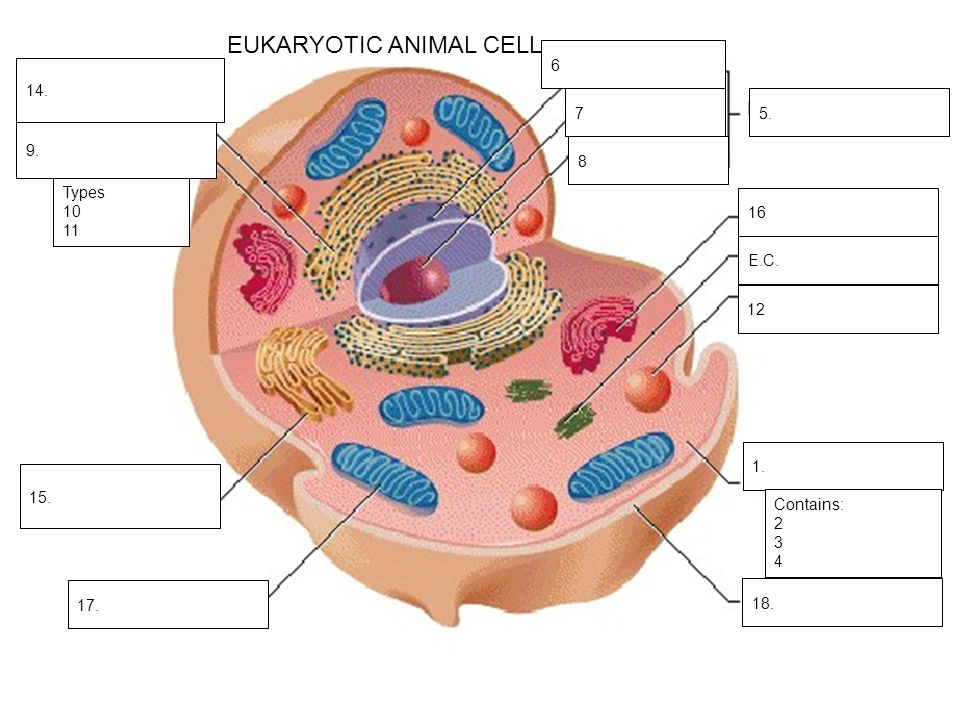 Cell drawing complete the structure function table then label all eukaryotic animal cell ccuart Images