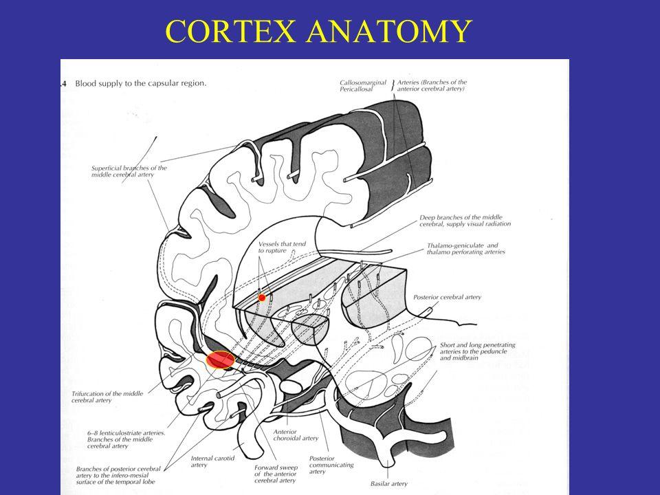 CORTEX ANATOMY