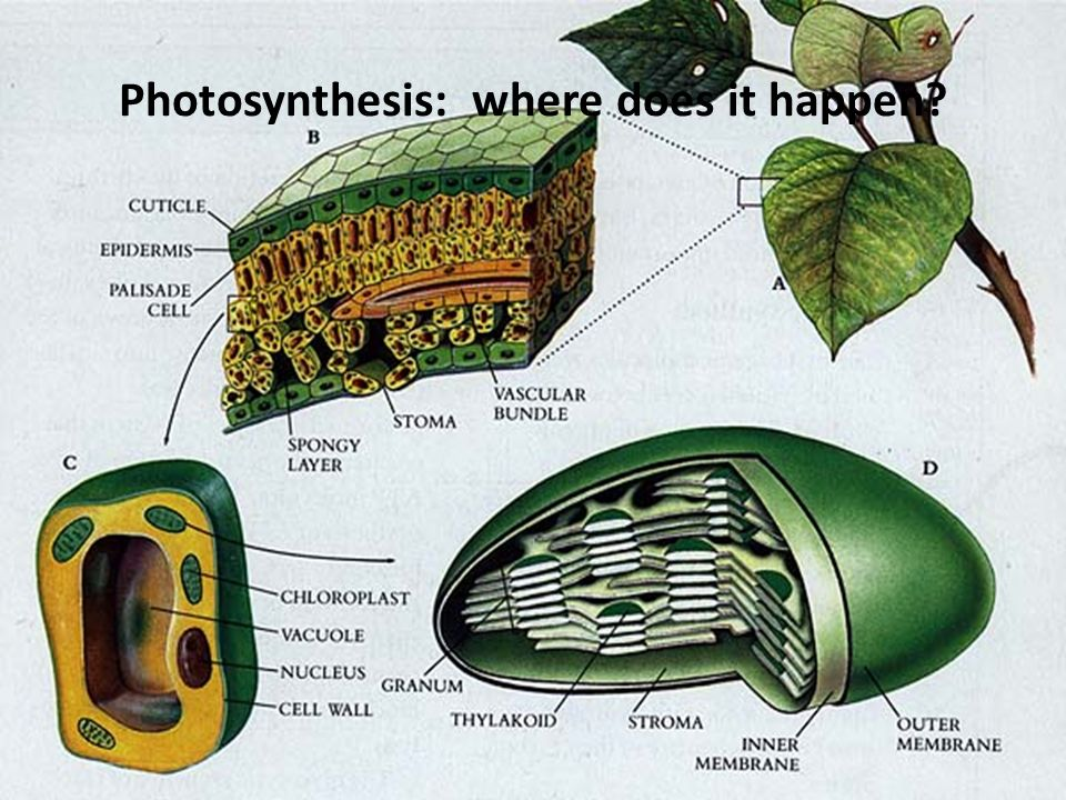 Photosynthesis: where does it happen