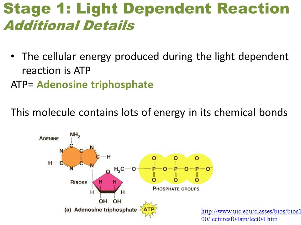 Stage 1: Light Dependent Reaction Additional Details