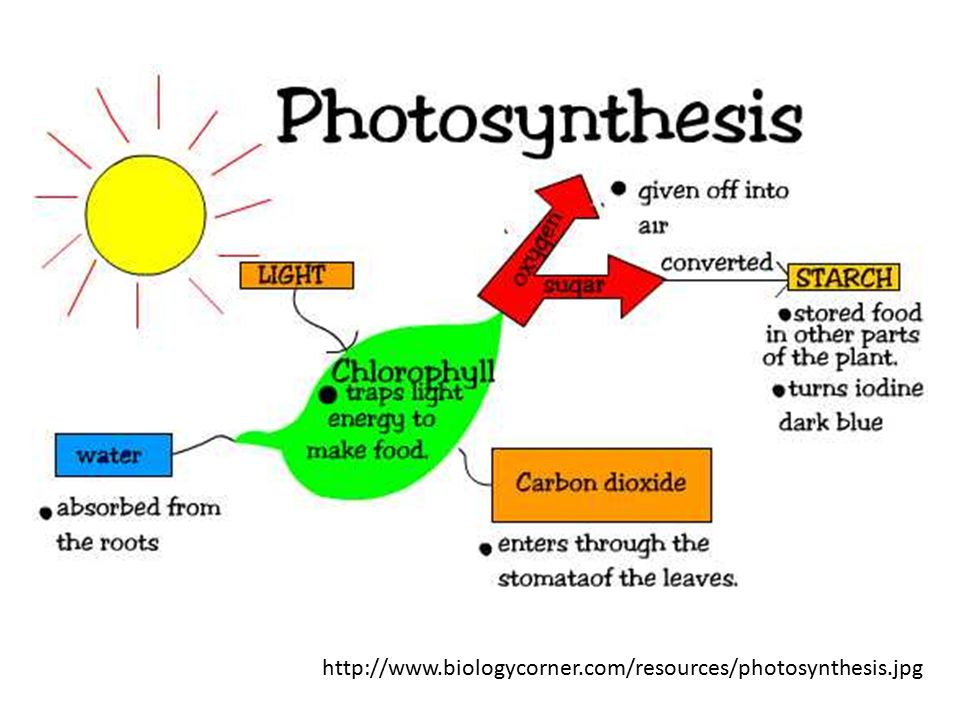 http://www.biologycorner.com/resources/photosynthesis.jpg