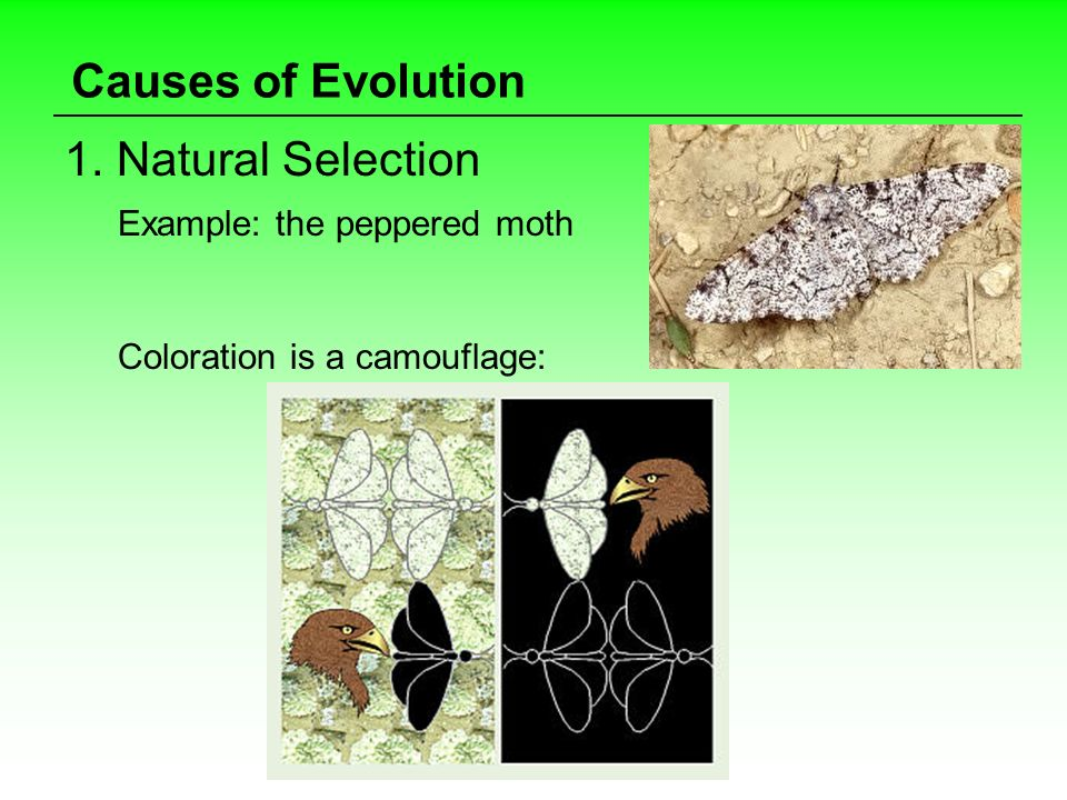 Causes of Evolution 1. Natural Selection Example: the peppered moth