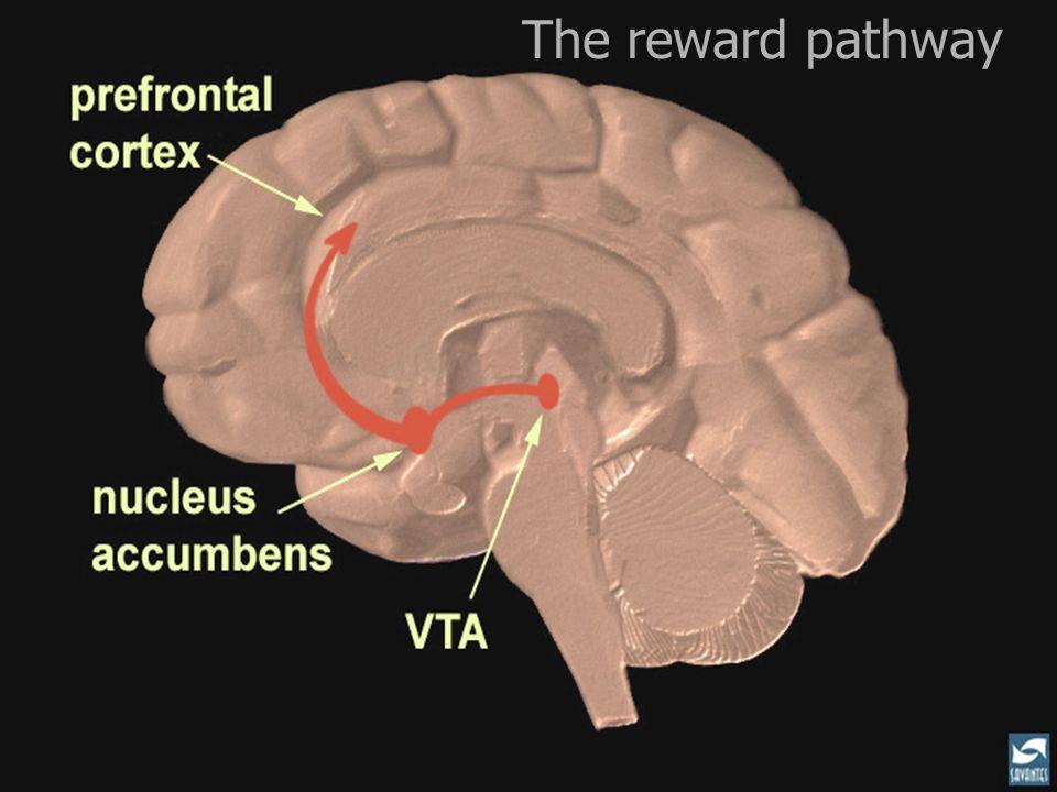 The reward pathway Slide 11: The reward pathway