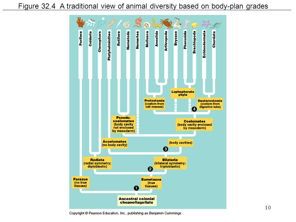 Figure 32.4 A traditional view of animal diversity based on body-plan grades