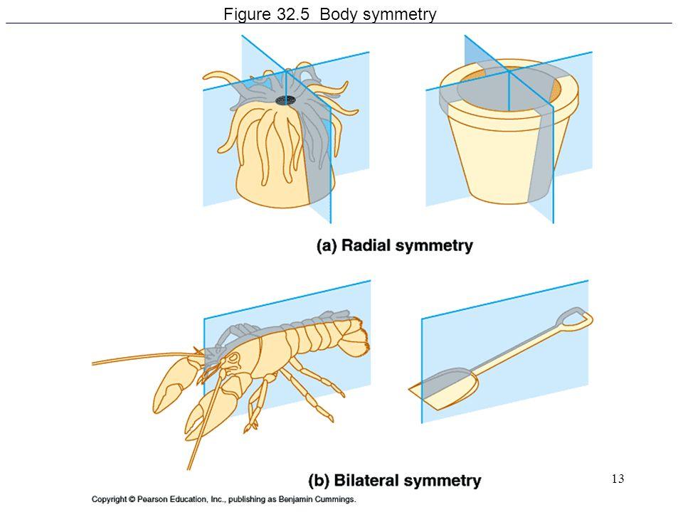 Figure 32.5 Body symmetry