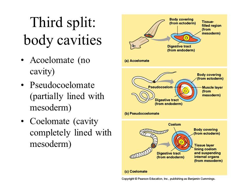 Third split: body cavities