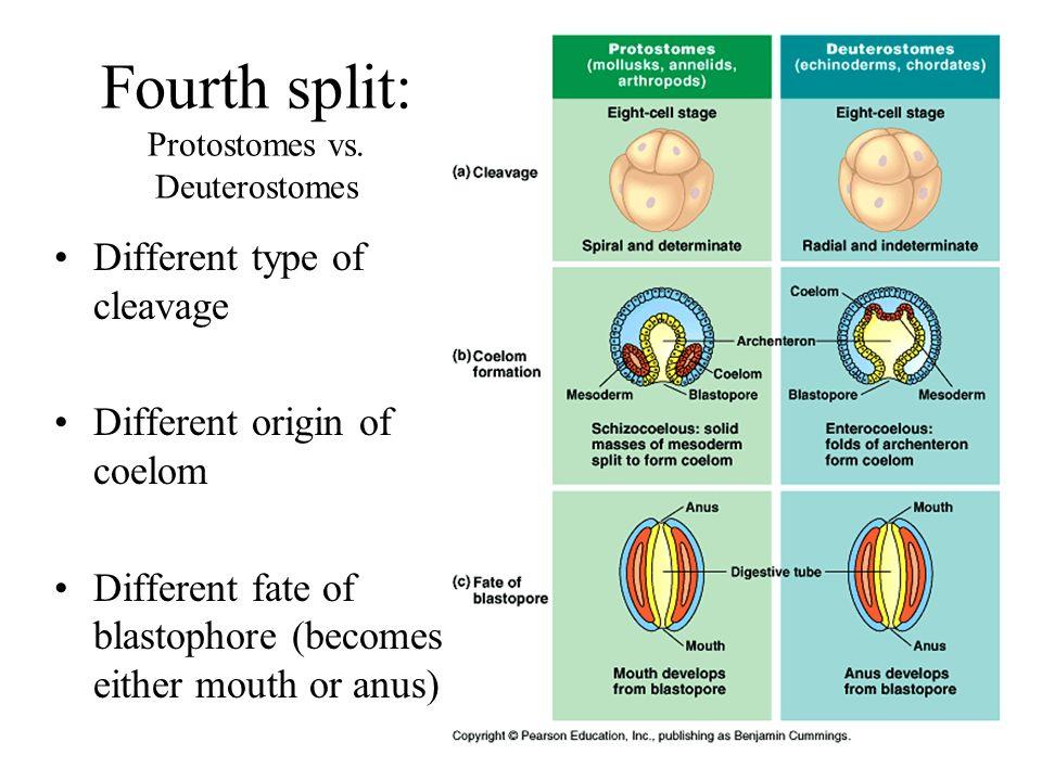 Fourth split: Protostomes vs. Deuterostomes