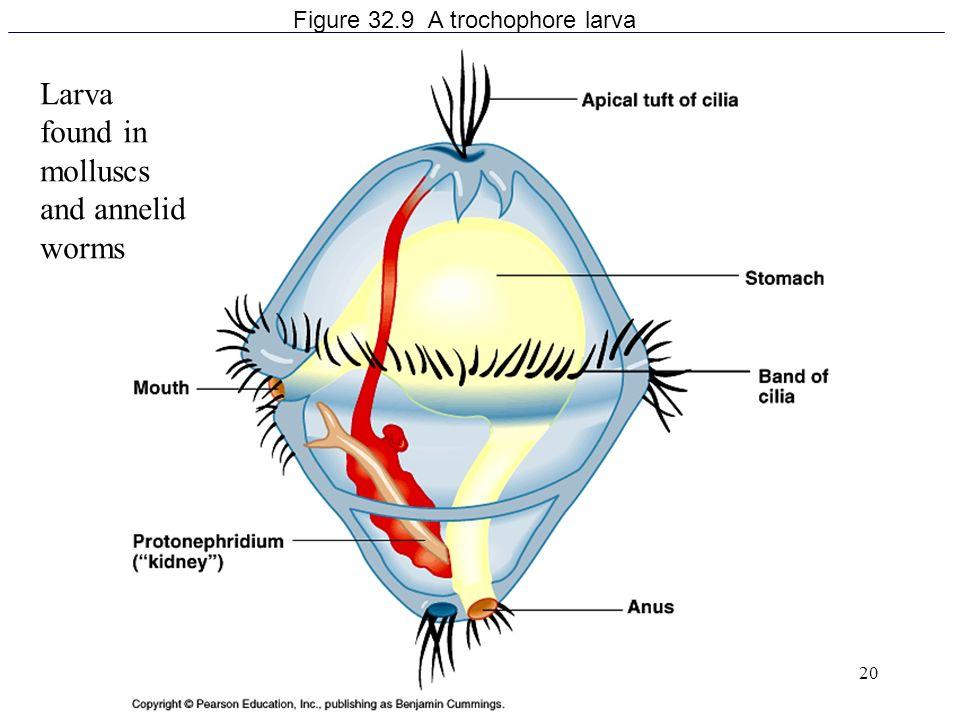 Figure 32.9 A trochophore larva