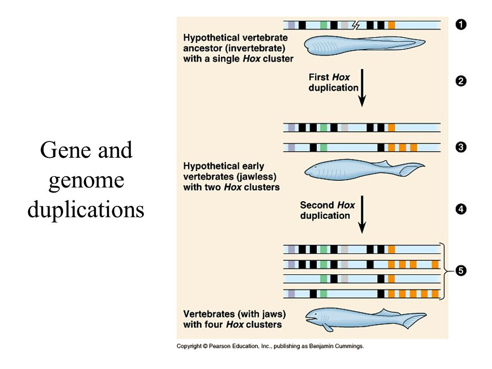 Gene and genome duplications