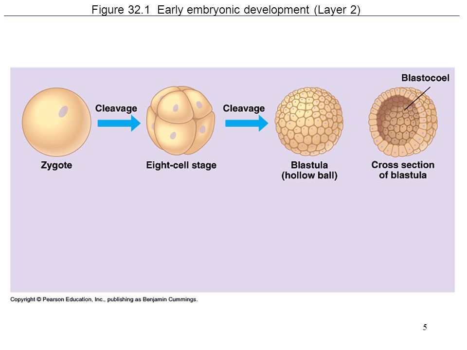 Figure 32.1 Early embryonic development (Layer 2)
