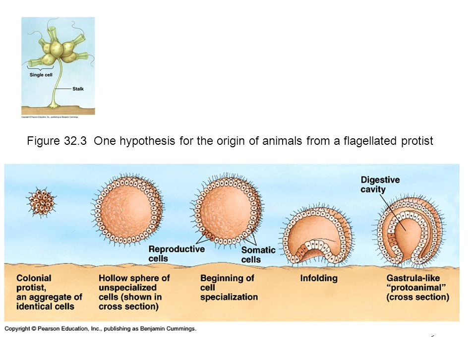 Figure 32.3 One hypothesis for the origin of animals from a flagellated protist