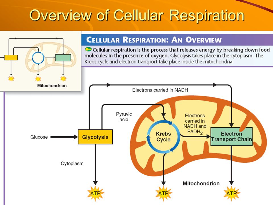 Cellular Respiration  Ppt Video Online Download. University Of Oxford Online Big Data Meaning. Olive Garden Birthday Song Mexico Birth Rate. Prudential Stocks Today Live Press Conference. Alcohol Treatment Centers In Nj. Band Weight Loss Surgery Lynwood Womens Jail. What Education Does A Police Officer Need. Home Automation Using Bluetooth. How To Change Microsoft Word To Pdf
