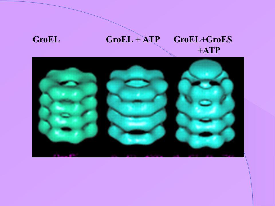 GroEL GroEL + ATP GroEL+GroES +ATP