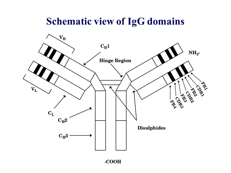 Schematic view of IgG domains