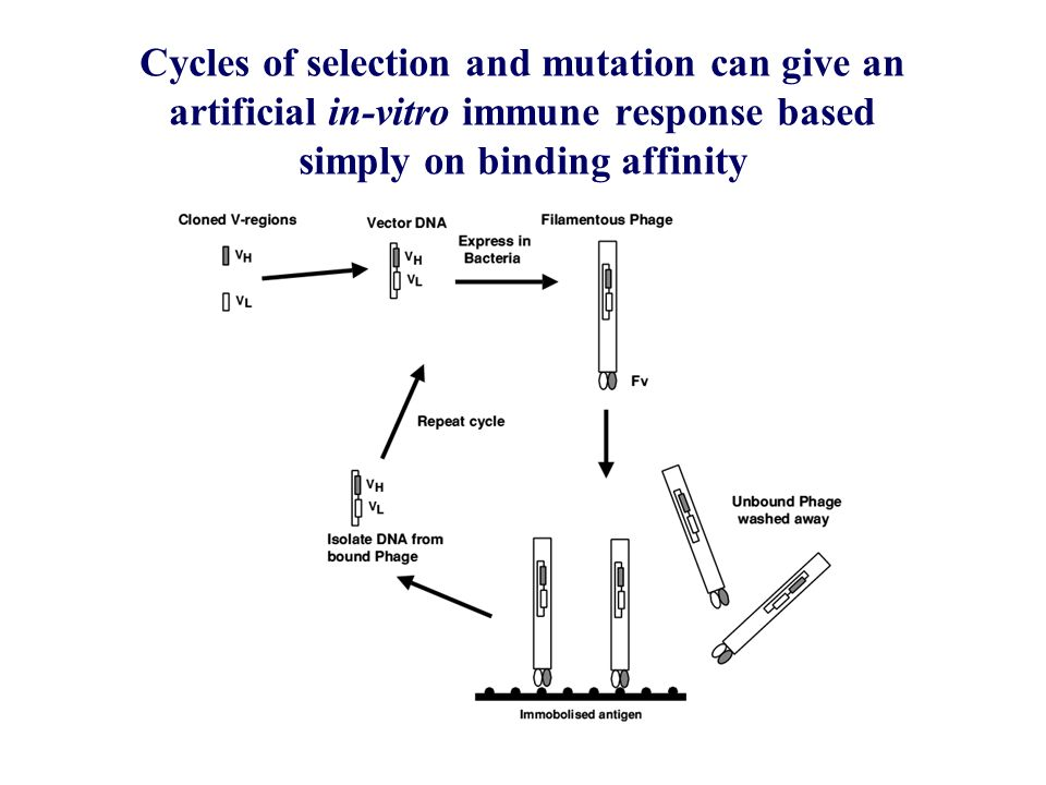 Cycles of selection and mutation can give an artificial in-vitro immune response based simply on binding affinity
