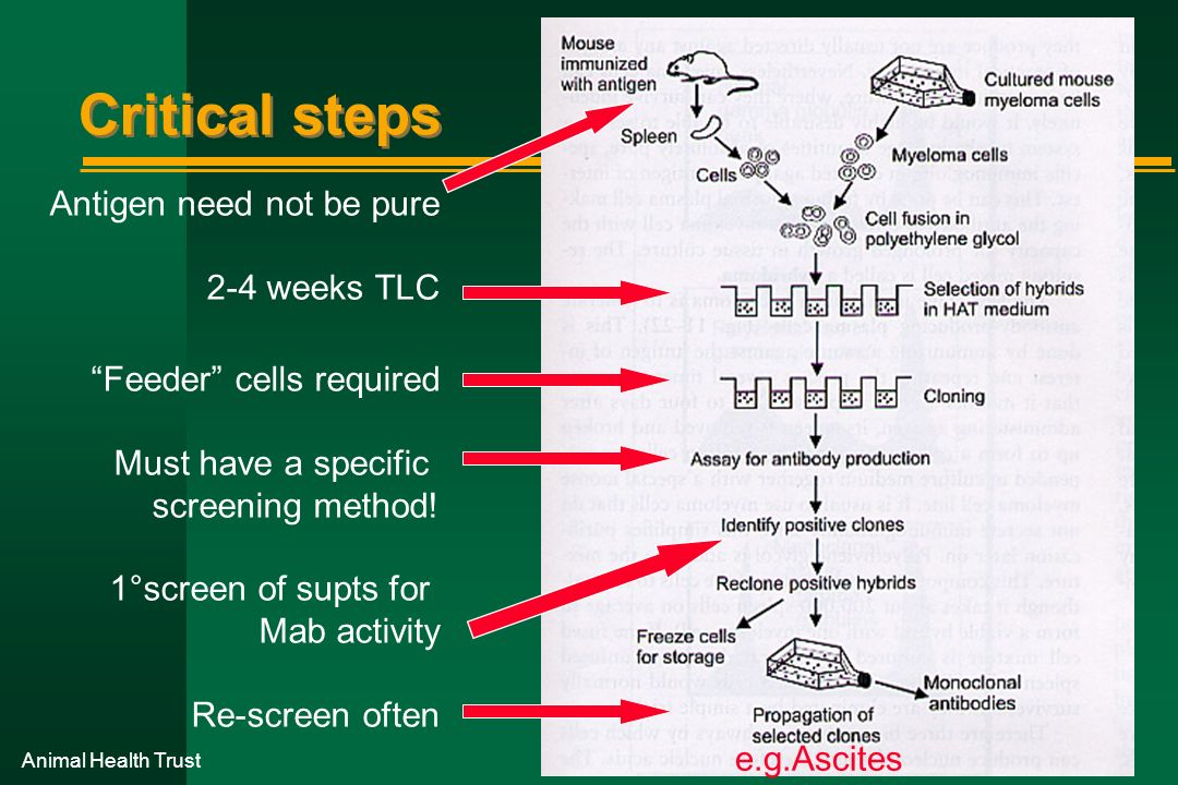 Critical steps Antigen need not be pure 2-4 weeks TLC