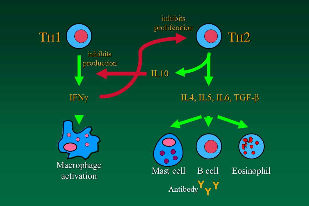 TH1 TH2 Y Y Y IL10 IFN IL4, IL5, IL6, TGF- Macrophage activation