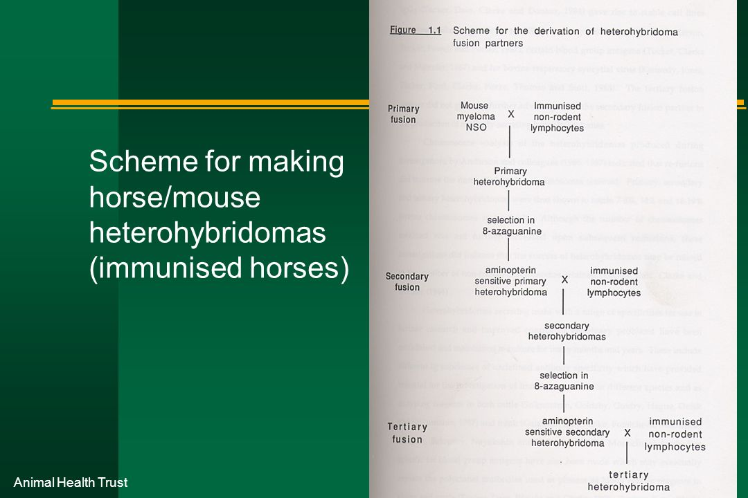 Scheme for making horse/mouse heterohybridomas (immunised horses)