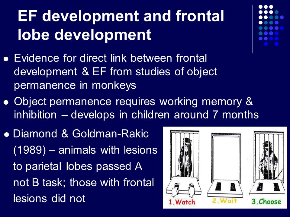 EF development and frontal lobe development