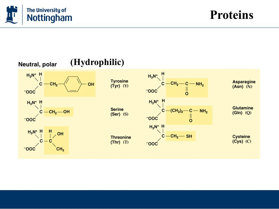 Proteins (Hydrophilic)