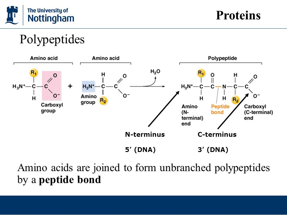 Proteins Polypeptides