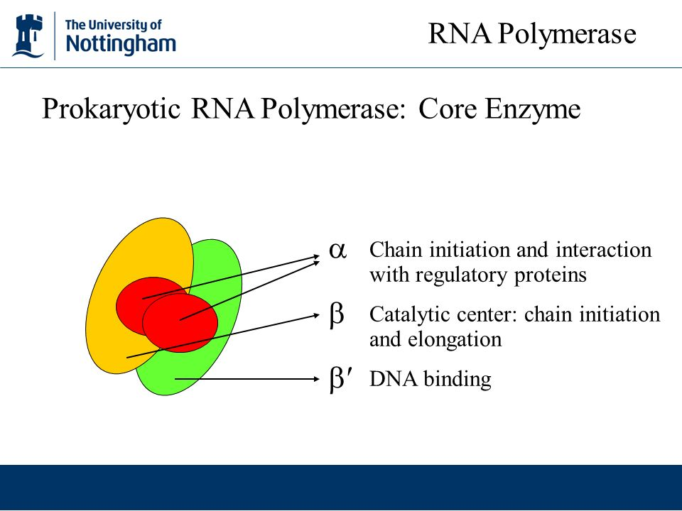 Prokaryotic RNA Polymerase: Core Enzyme
