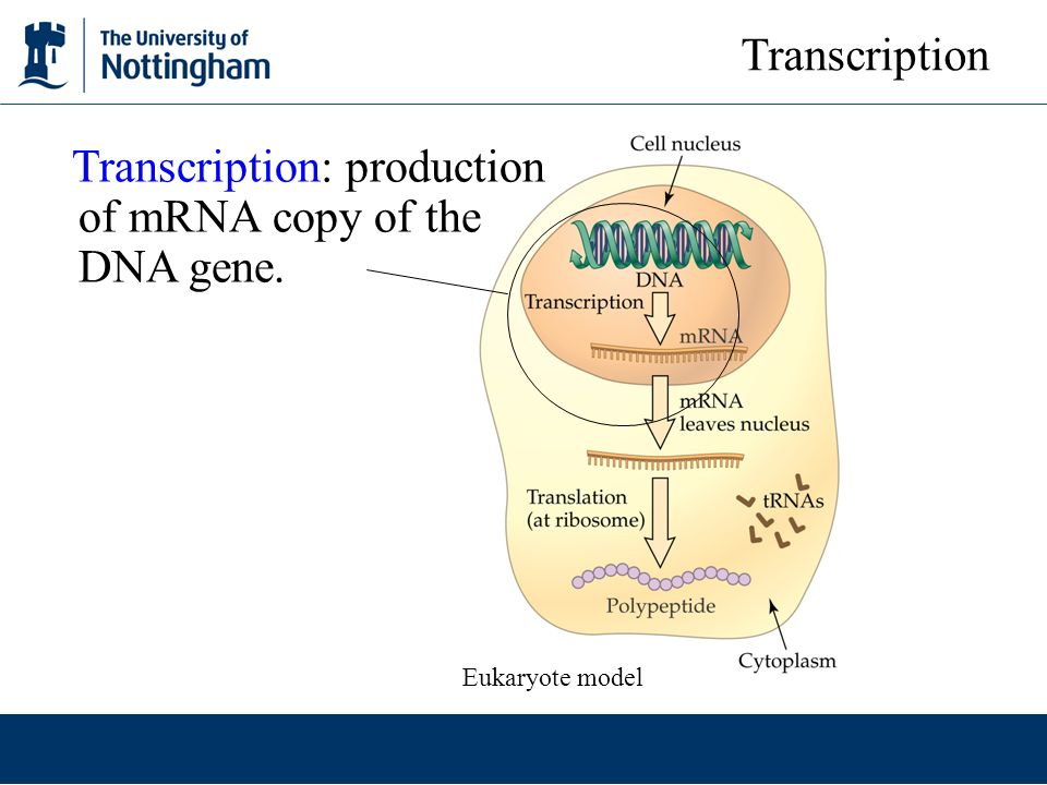 Transcription: production of mRNA copy of the DNA gene.
