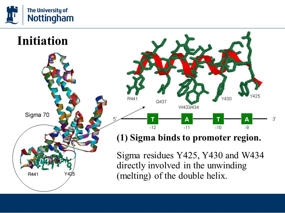 Initiation (1) Sigma binds to promoter region.