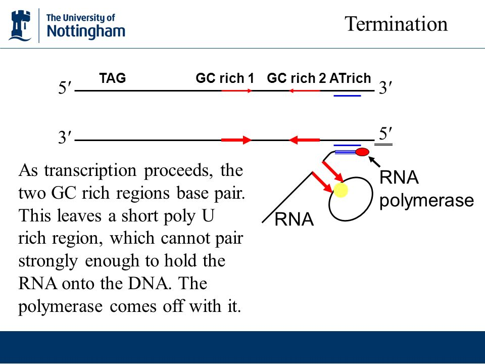Termination TAG GC rich 1 GC rich 2 ATrich. 5 3 5 3
