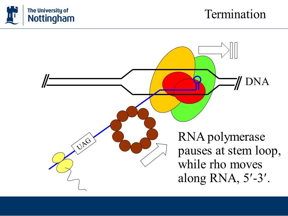 RNA polymerase pauses at stem loop, while rho moves along RNA, 5-3.