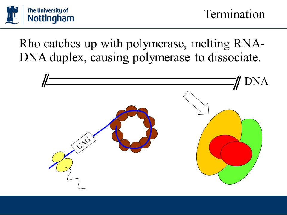Termination Rho catches up with polymerase, melting RNA-DNA duplex, causing polymerase to dissociate.