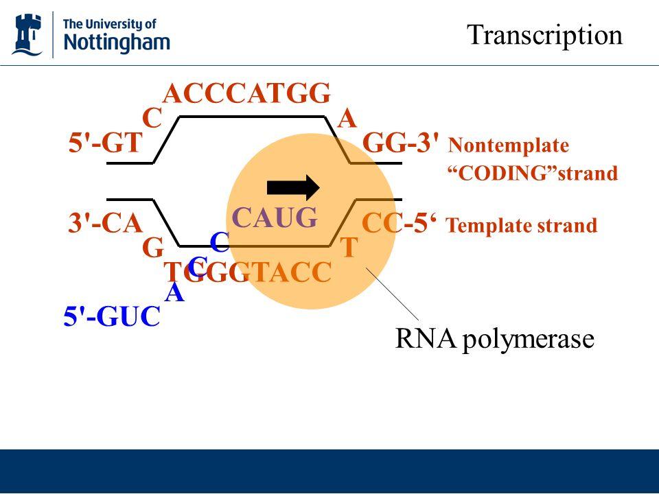 3 -CA CC-5' Template strand G T TGGGTACC